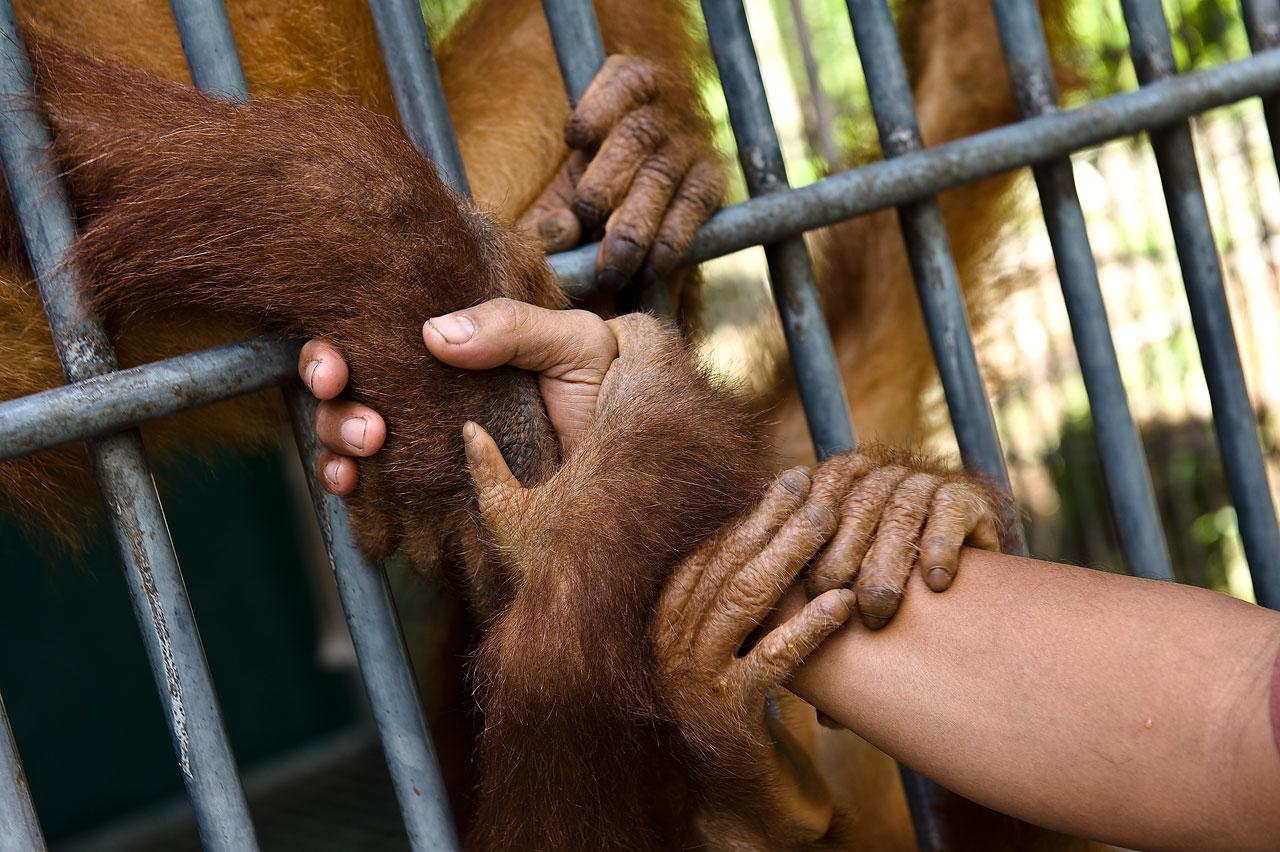 Sandra Hoyn - Displaced by Palm Oil: Indonesias last Orangutans - Felix Schoeller Photoaward